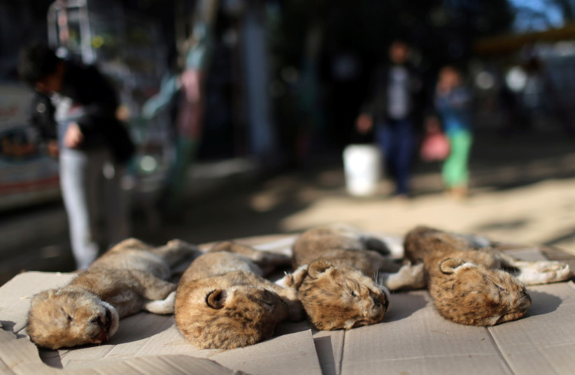 Bodies of four baby lion cubs that died in a zoo, are seen in the southern Gaza Strip, January 18, 2019.  (photo credit: IBRAHEEM ABU MUSTAFA / REUTERS)