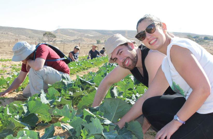Young professionals on JNF Volunteer Vacation, getting their hands dirty while learning about agriculture in the Negev (photo credit: JNF-USA)