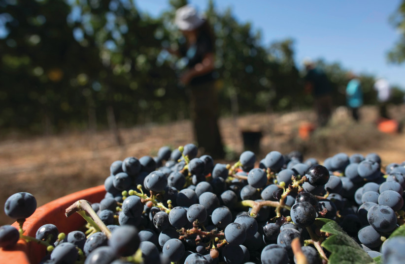 MORE THAN 15,000 acres are under grape cultivation around Israel, resulting in some 40 million bottles of wines per year.  (photo credit: REUTERS)