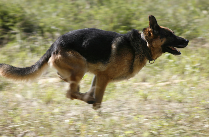 A German shepherd dog takes a test during an annual cynologist competition, held by members of the regional penitentiary camps system, outside Russia's Siberian city of Krasnoyarsk, August 24, 2012. 24 teams representing prison camps took part in a five-day-long competition (photo credit: REUTERS/ILYA NAYMUSHIN)