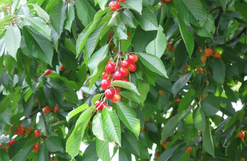 Cherry tree  (photo credit: GULMAMMAD / WIKIMEDIA COMMONS)