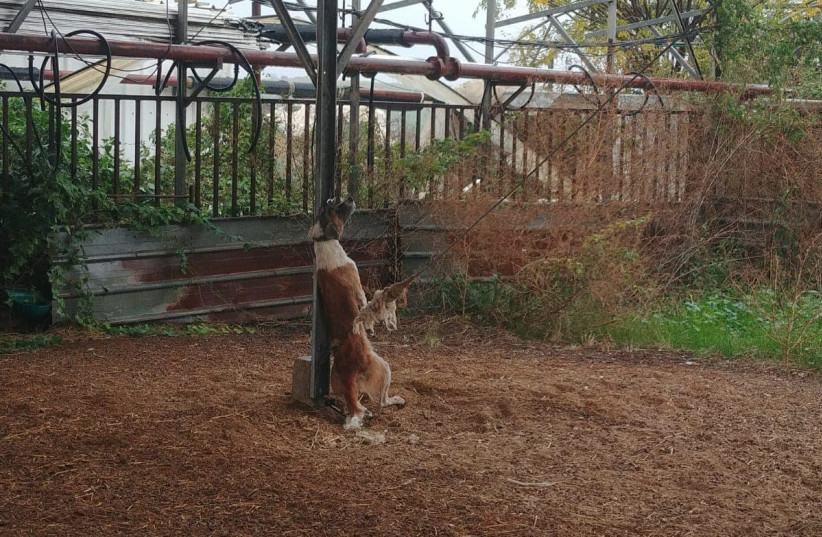 A dog is hung to death by a metal chain. (photo credit: POLICE SPOKESPERSON'S UNIT)