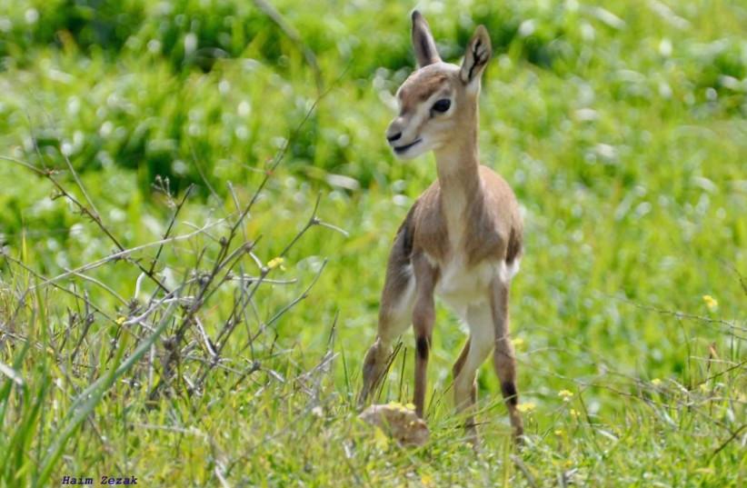 New fawn born at the Jerusalem Deer Park   (photo credit: HAIM ZAZAK)