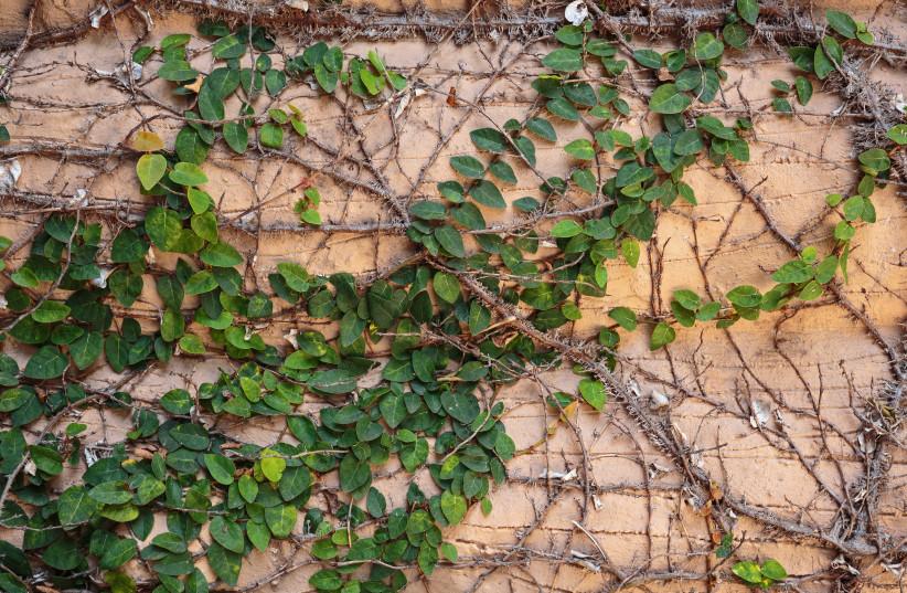Ivy (photo credit: INGIMAGE)