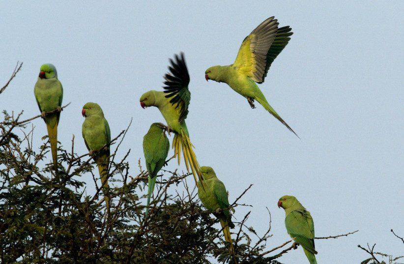 Parrots land on a tree in the morning at Khati Waas village in the northern Indian state of Haryana December 29, 2005 (photo credit: REUTERS)