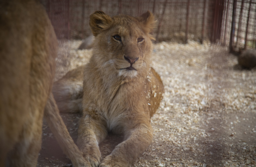 A lion sits in a small and delapitated cage at the Rafah Zoo in the Gaza Strip (photo credit: FOUR PAWS)