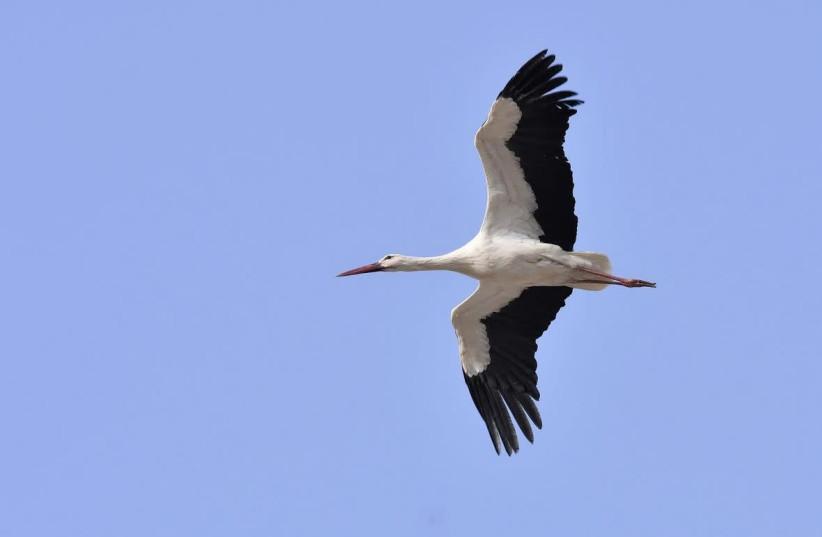 Stork over Dudaim Park  (photo credit: DANIEL BERKOWITZ)