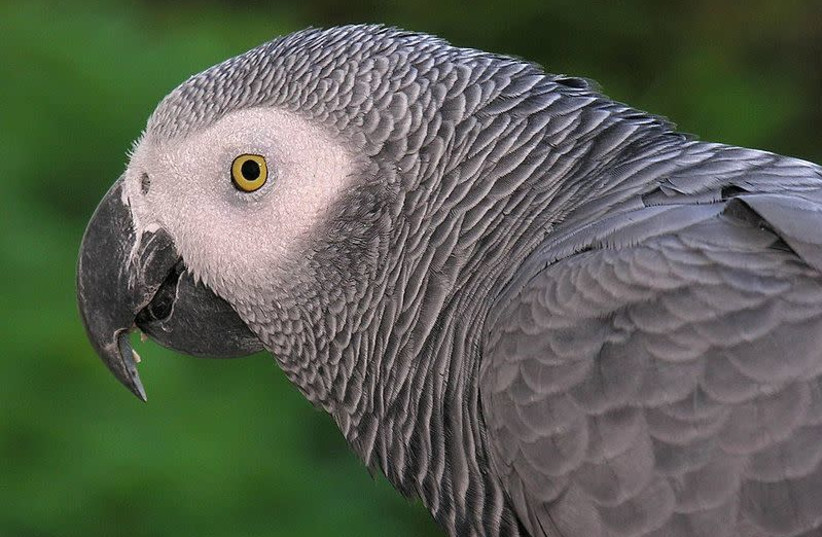Congo African Grey parrot (photo credit: L. MIGUEL BUGALLO SÁNCHEZ/WIKIMEDIA COMMONS)
