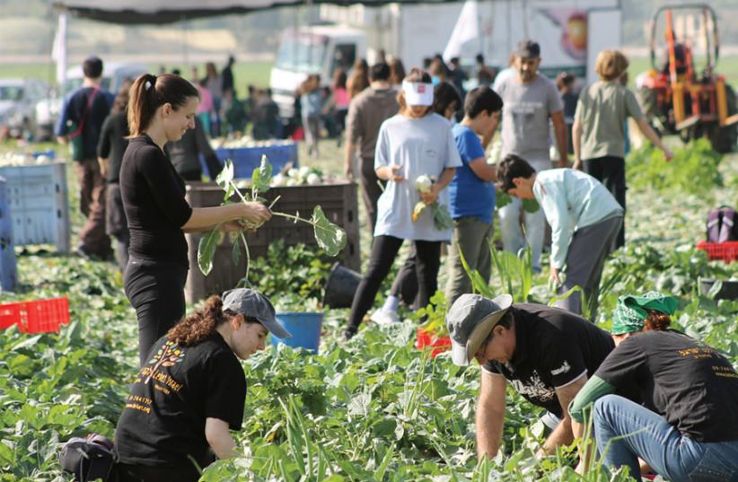 Leket volunteers picking vegetables (photo credit: LEKET ISRAEL)