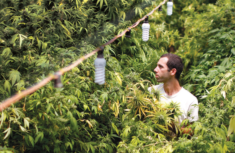 A worker harvests cannabis plants at a plantation near the northern town of Nazareth (photo credit: AMIR COHEN)