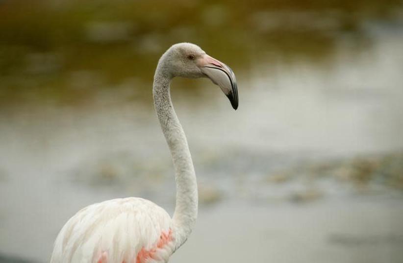 A greater flamingo (photo credit: REUTERS/DARRIN ZAMMIT LUPI)