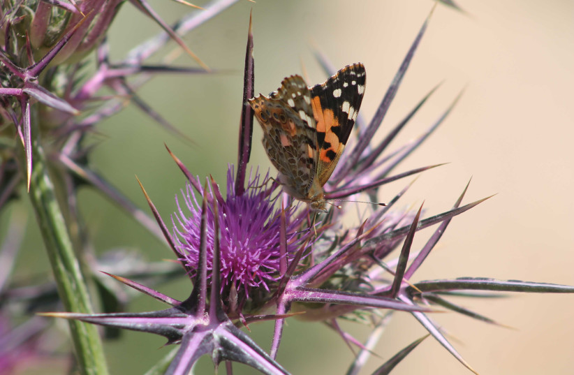 Butterfly in Bethlehem (photo credit: PAUL CALVERT)