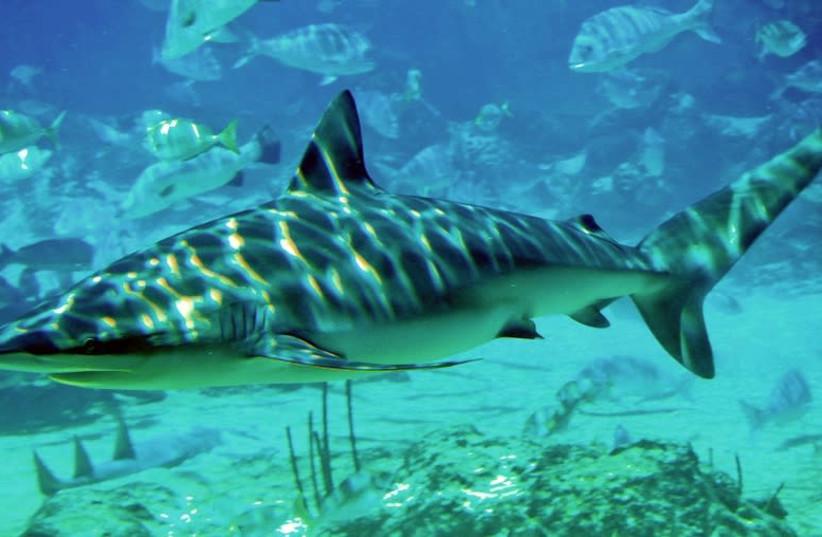 Dusky shark (Carcharhinus obscurus) at SeaWorld, Queensland (photo credit: SEAWORLD SHARK / WIKIMEDIA COMMONS)