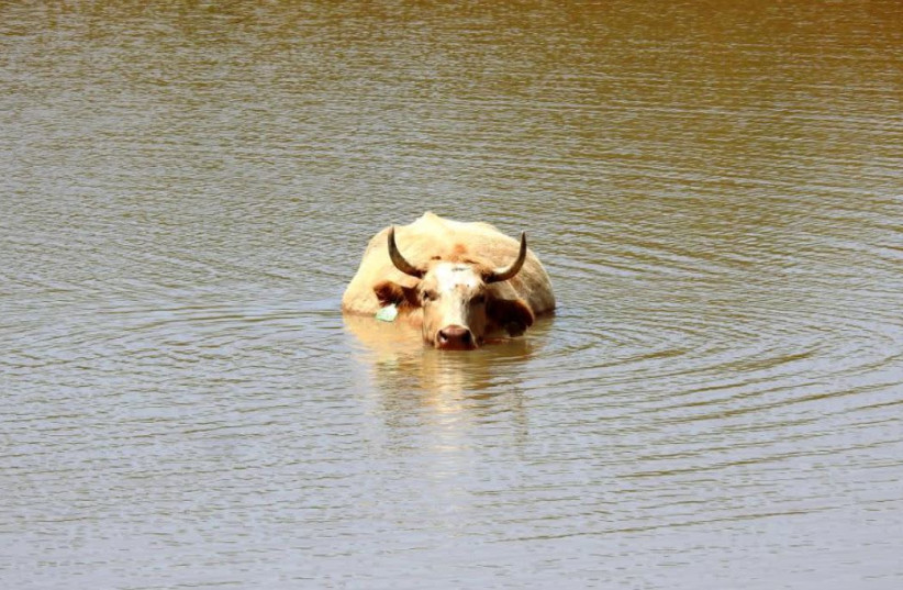 Cow taking a dip in the Golan as heat-wave reaches Israel  (photo credit: RINA NAGILA)