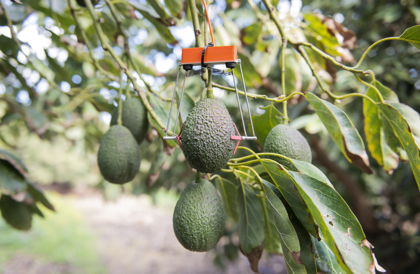 Afula-based SupPlant's Growth Based Irrigation technology used at an avocado plantation (photo credit: SUPPLANT)