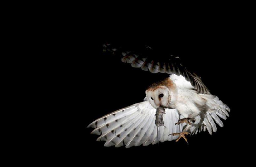 A barn owl (photo credit: AMIR EZER)
