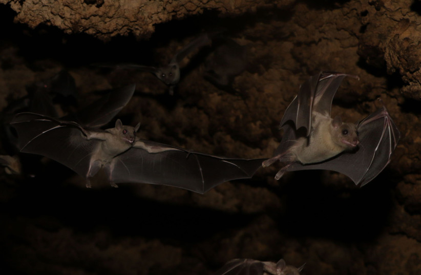 Blind as a bat? Might not be as blind as you think (photo credit: STEFAN GREIF)