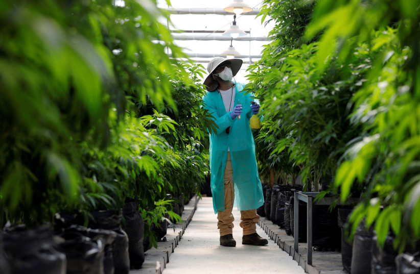 A worker tends to medical cannabis plants.  (photo credit: AMIR COHEN)