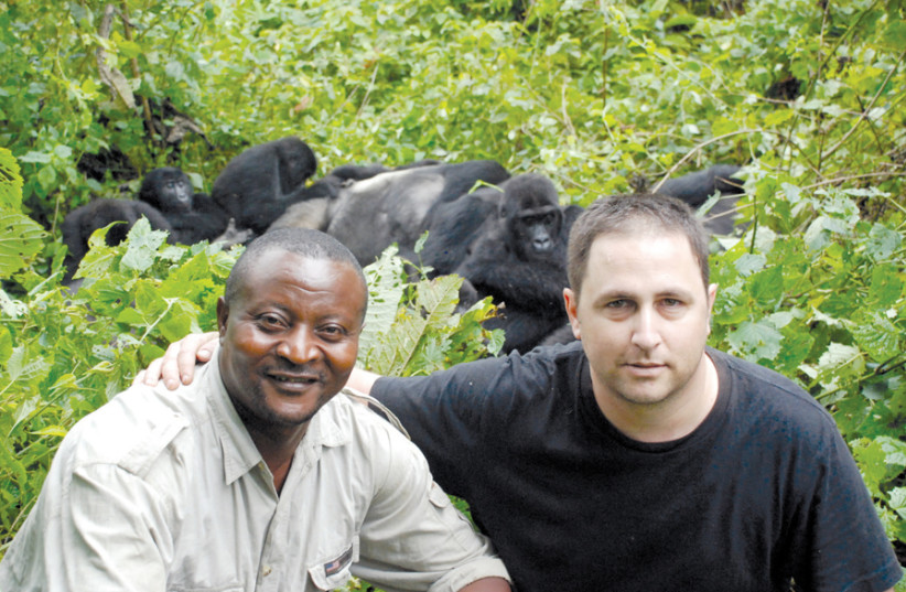 ARIEL KEDEM (right) and John Kahekwa Munihuzi in Congo with some eastern lowland gorillas, the world's largest gorilla. (photo credit: ARIEL KEDEM)