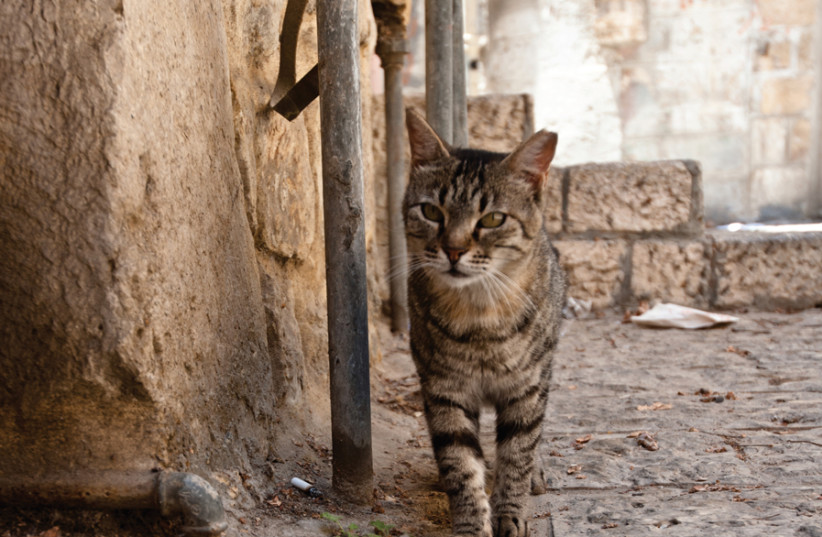 A JERUSALEM alley cat. (photo credit: Wikimedia Commons)