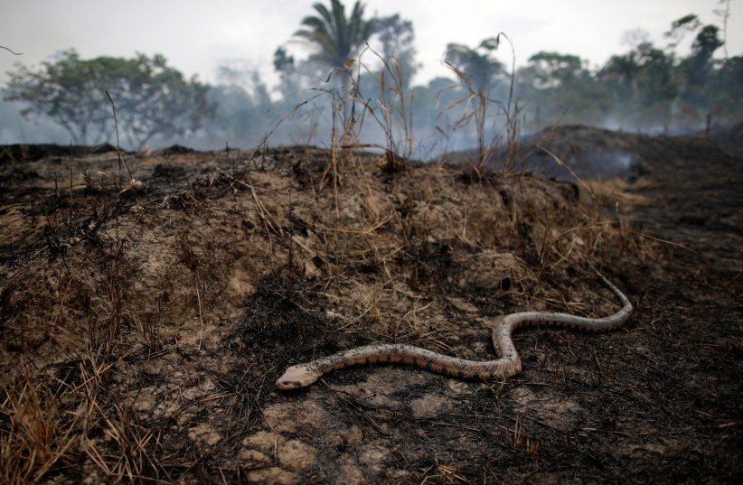 A snake is seen while a tract of the Amazon jungle burns as it is cleared by loggers and farmers in Porto Velho, Brazil August 24, 2019 (photo credit: UESLEI MARCELINO/REUTERS)