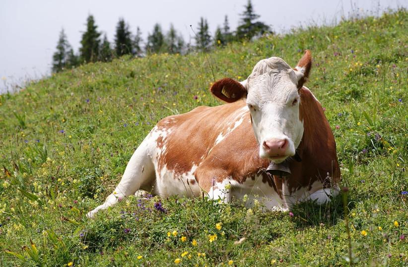 Cow illustrative (photo credit: KIM HANSEN/WIKIPEDIA)