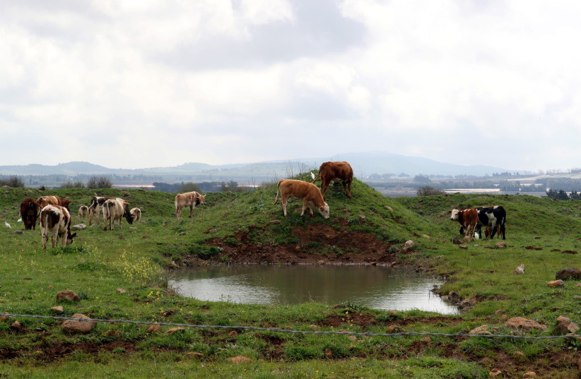 Cows graze in a grassy area near Mas'ada in the Israeli Golan Heights (photo credit: AMMAR AWAD/REUTERS)