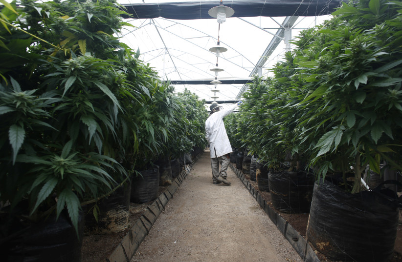 Israeli start-ups team up to make genetically modified mega-cannabis - The Jerusalem Post