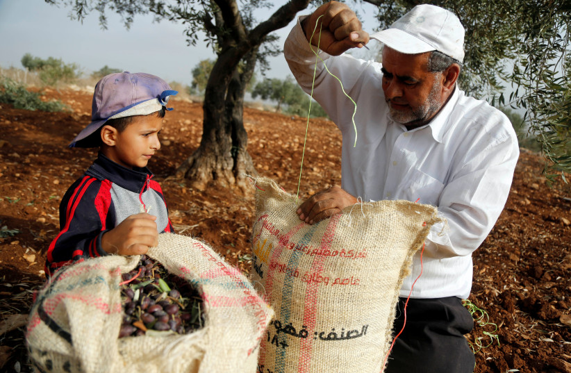 A Palestinian man closes a bag containing freshly picked olives, as a boy looks on, during harvest at a farm in Tubas, West Bank; October 19, 2018. (photo credit: RANEEN SAWAFTA/ REUTERS)