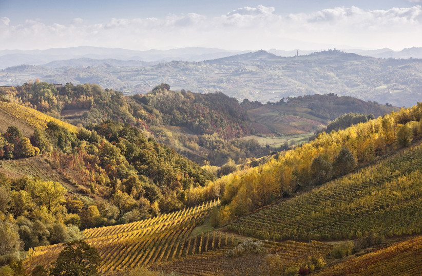 THE MUSCAT grape used in Moscato is grown on the beautiful hilly region of Asti, in Piedmont (photo credit: Courtesy)