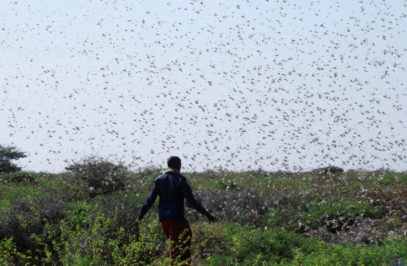 A Somali farmer walks within desert locusts in a grazing land on the outskirt of Dusamareb in Galmudug region, Somalia December 22, 2019 (photo credit: REUTERS/FEISAL OMAR)