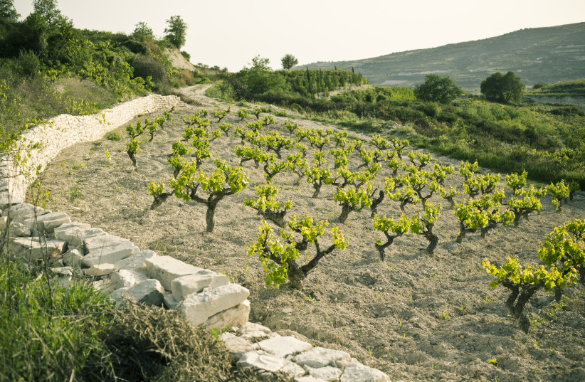 XYNISTERI: OLD Vine vineyard in Cyprus owned by Zambartas Winerie (photo credit: Courtesy)