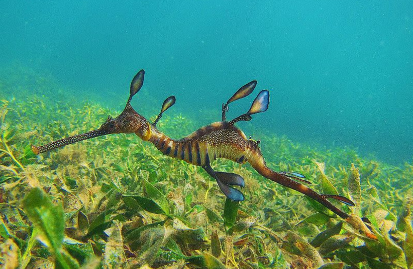 A Weedy Sea Dragon. (photo credit: Wikimedia Commons)