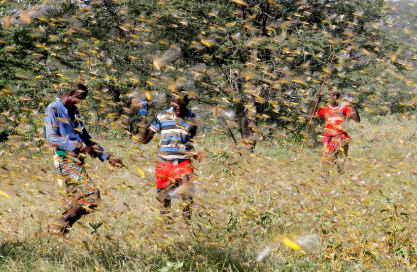 Samburu men attempt to fend-off a swarm of desert locusts flying over a grazing land in Kenya, 2020 (photo credit: NJERI MWANGI/REUTERS)