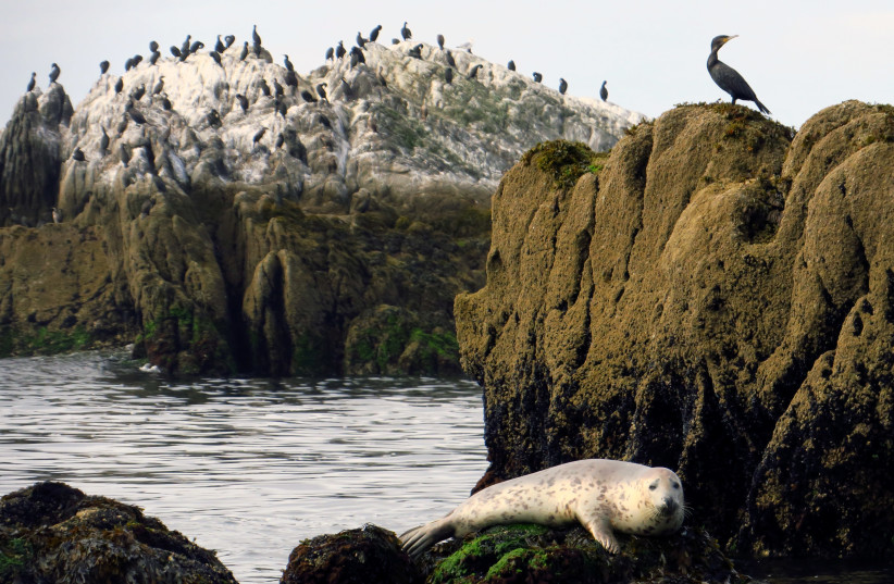"A seal sits on a rock in front of the ""Ile aux moutons"" island in front of Loctudy, Brittany (photo credit: REUTERS)"