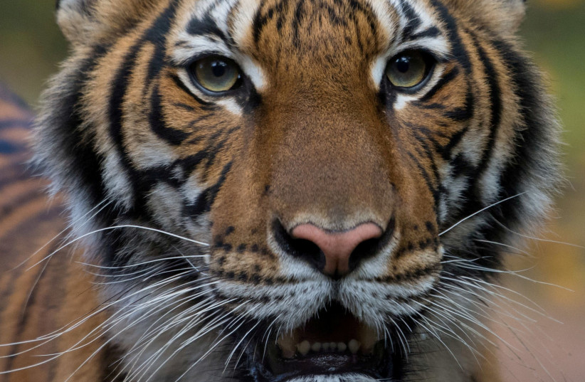 Nadia, a 4-year-old female Malayan tiger at the Bronx Zoo, that the zoo said on April 5, 2020 has tested positive for coronavirus disease (COVID-19) is seen in an undated handout photo provided by the Bronx zoo in New York (photo credit: WCS/HANDOUT VIA REUTERS)