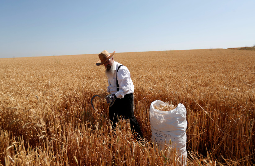 HARVESTING WHEAT, which will later be used to make matza, last year (photo credit: REUTERS)