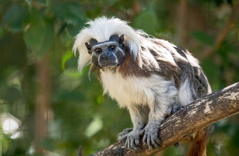 Cotton-top Tamarin at Zoo Lagos, Portugal.  (photo credit: Wikimedia Commons)