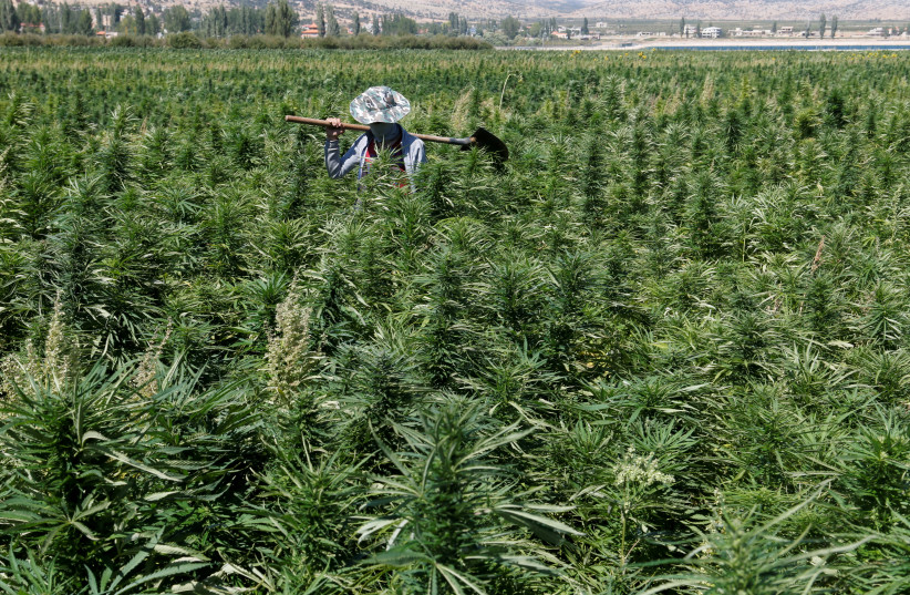 A farmer is seen in a cannabis field in the Yammouneh area west of Baalbek, Lebanon, August 13, 2018. (photo credit: MOHAMED AZAKIR / REUTERS)