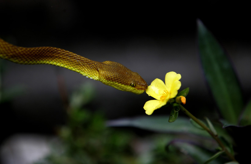 A yellow pit viper snake drinks water droplets on a flower at the Dhupguri snake park (photo credit: REUTERS)