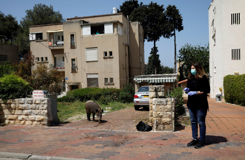 A woman stands next to a wild boar roaming in a residential area in Haifa after the government ordered residents to stay home to fight the spread of coronavirus. (photo credit: RONEN ZVULUN / REUTERS)