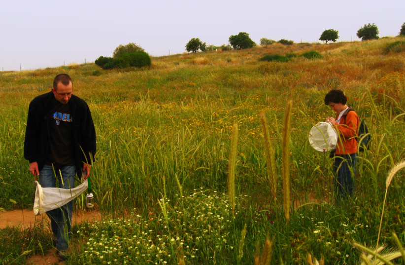 Exploring the diverse artropod fauna found on plants using butterfly nets, Coastal Plain, Israel, (left) Dr. Uri Roll (photo credit: Courtesy)