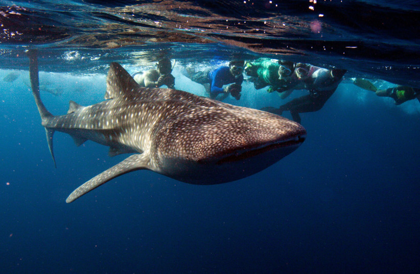 SNORKELERS SWIM with a whale shark, the world's largest fish, at the Maldives' South Ari Atoll in 2012 (photo credit: DAVID LOH/REUTERS)