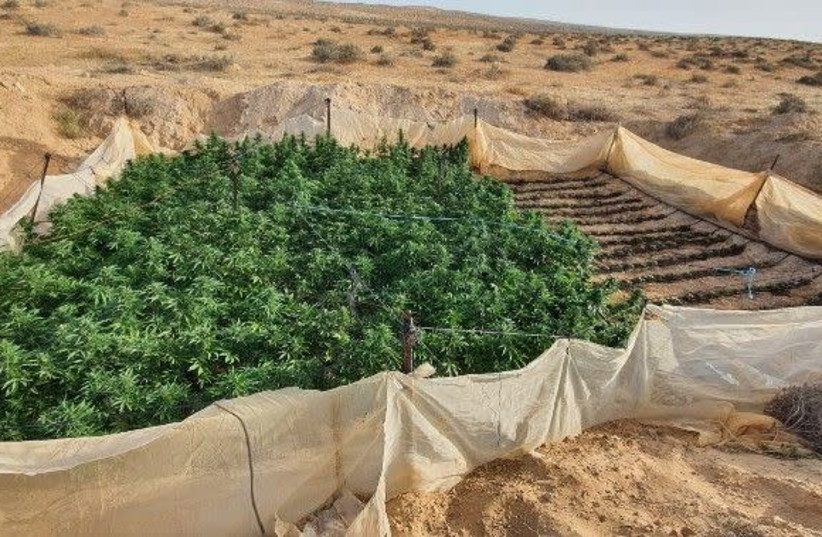 Marijuana plants Border Police found and burnt on May 3 2020 in the Negev, the plants were grown inside an IDF training zone  (photo credit: POLICE SPOKESPERSON'S UNIT)