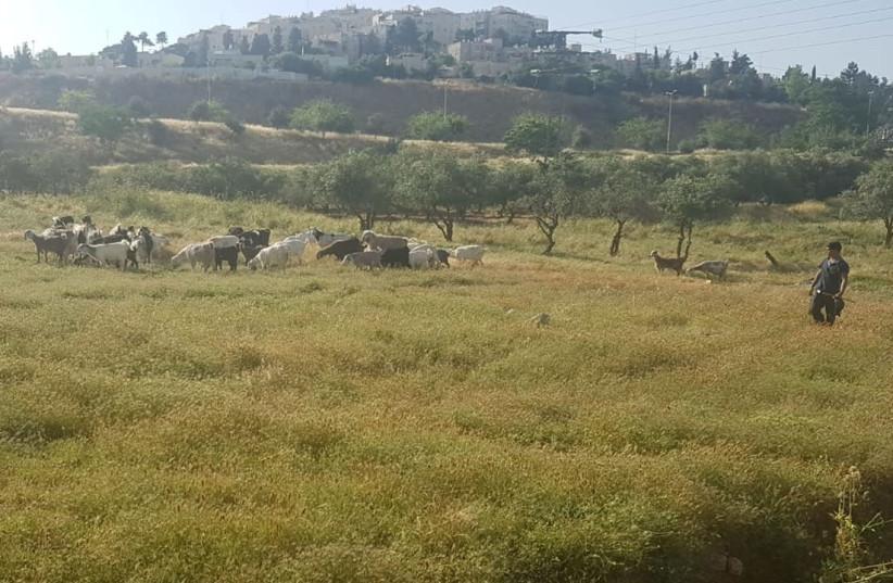 Flocks helping Jerusalem prevent fires, May 2020 (photo credit: SVETLANA PINSON AND ALA DABASH)