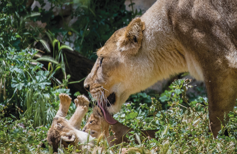 YASHA THE lioness is seen with her six-week-old Asiatic lion cubs, at the Jerusalem Biblical Zoo in on May 6 (photo credit: YONATAN SINDEL/FLASH90)