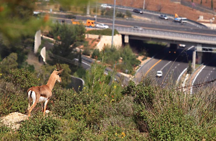 Mountain gazelle looking at a highway intersection, Jerusalem mountains, Israel (photo credit: AMIR BALABAN)