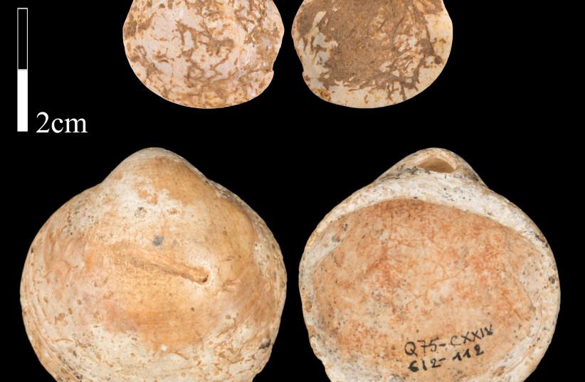 Bittersweet clam shells found in the Misliya Cave on Mt. Carmel. (photo credit: OZ RITNER/STEINHARDT MUSEUM OF NATURAL HISTORY/TEL AVIV UNIVERSITY)
