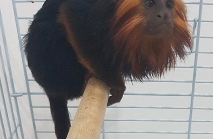 The monkey that was stolen from the Kiryat Motzkin zoo (photo credit: POLICE SPOKESPERSON'S UNIT)