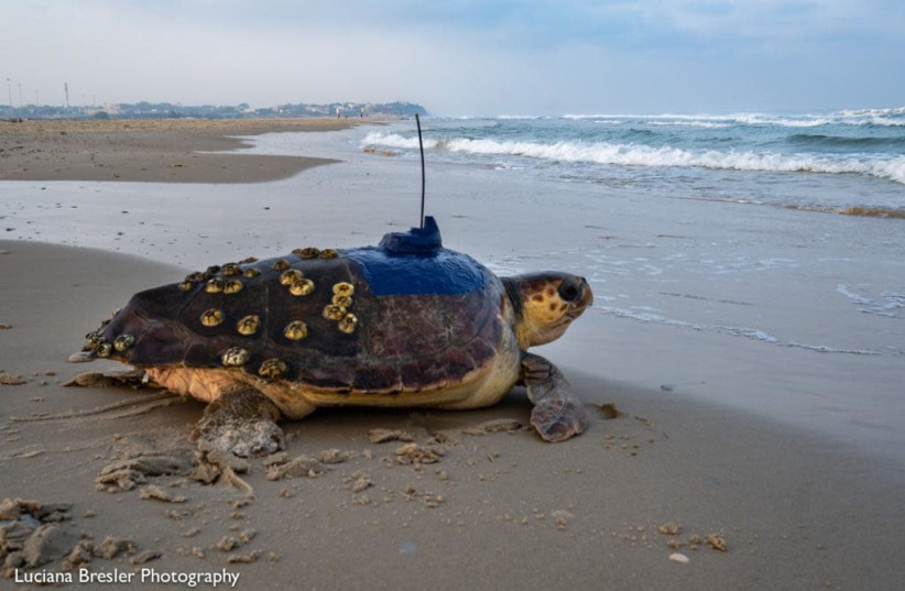 Wounded green sea turtle Kfir returning to the Mediterranean Sea. (photo credit: LUCIANA BRESLER)